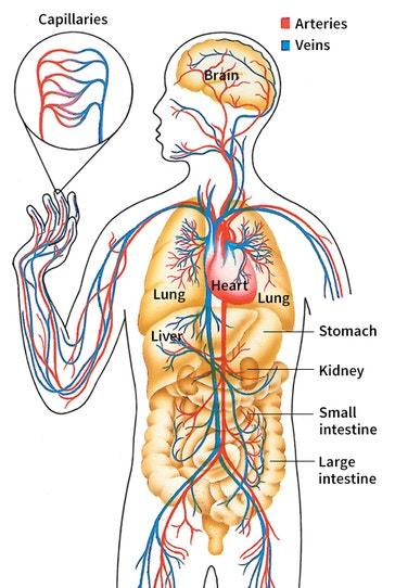 image title: Human circulatory system