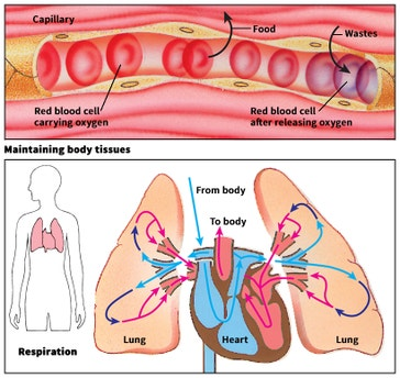 image title: Some functions of the circulatory system