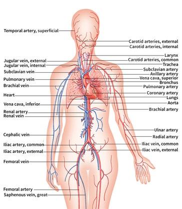 image title: Human body: respiratory and circulatory systems